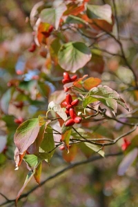 Dogwood Tree Seeds