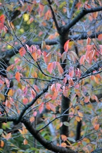 Sakura Leaves