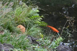 Chappy The Cat and Koi