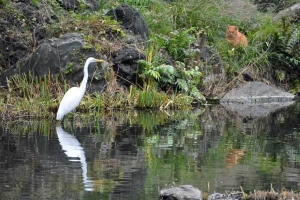 Chappy The Cat and Great Egret