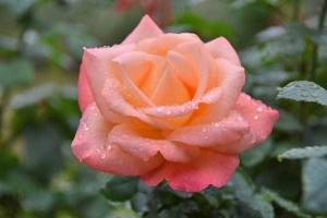 Rose (Pink Panther)