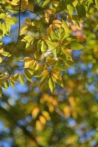 Keyaki Leaves