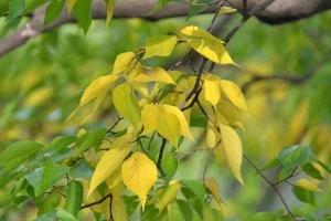 Mukunoki Leaves