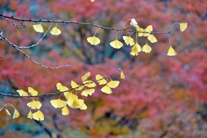Ginkgo Leaves Against Maple Tree