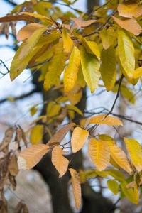 Chinese Cork Tree Leaves