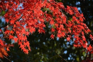Momiji Maple Leaves