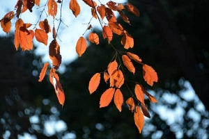 Konara Oak Leaves