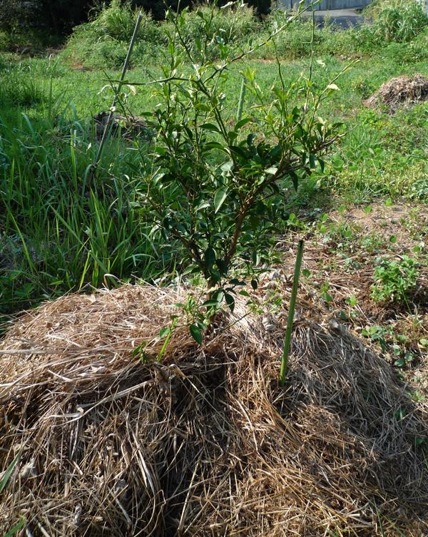 苗ものの堆肥