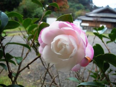 山茶花1〈2016-11-18)
