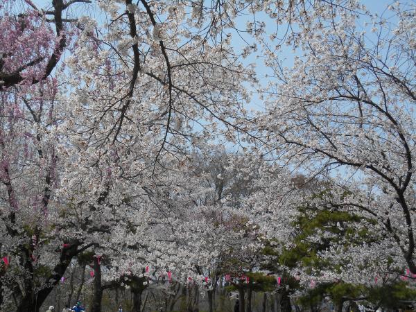 懐古園の桜