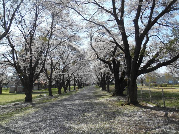 牧場の桜2