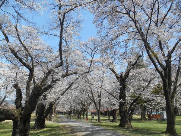 牧場の桜1