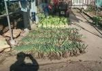 収穫されたネギ白菜