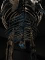 ティラノサウルスの腹肋骨