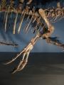 スピノサウルスの前肢