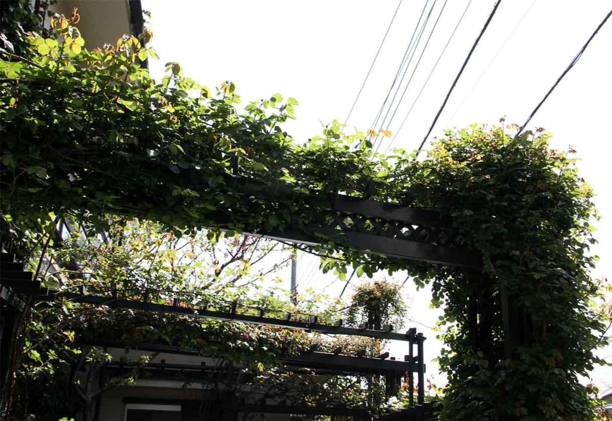 開花への助走 バラの新緑美(1)
