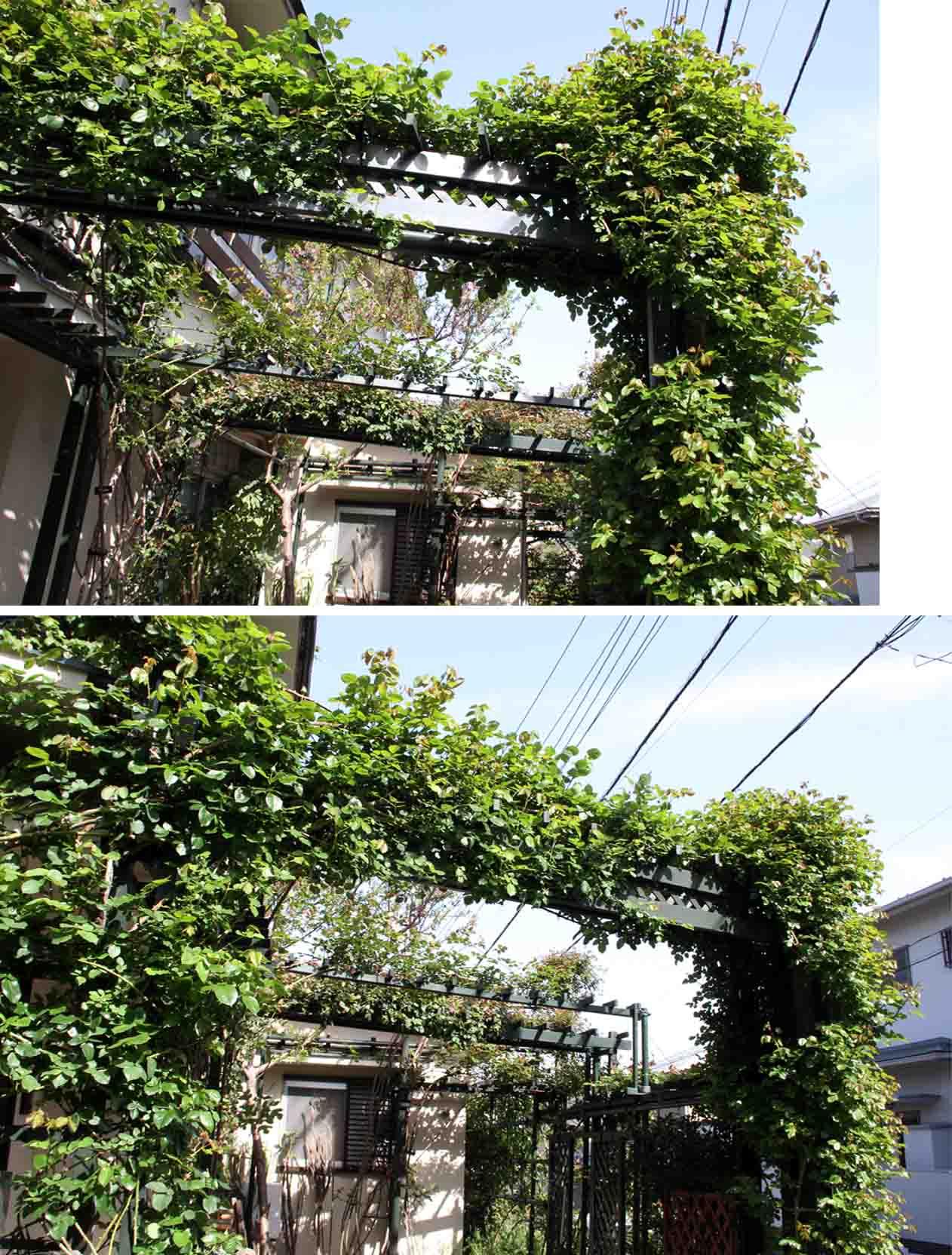 開花への助走 バラの新緑美(4)
