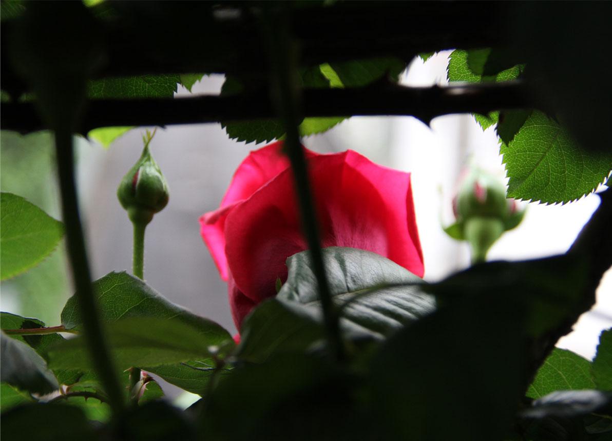 4月25日のバラ模様(1)