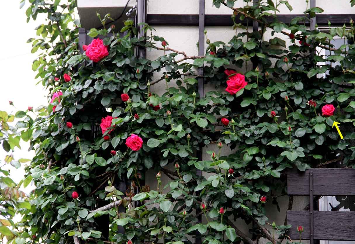 4月25日のバラ模様(2)