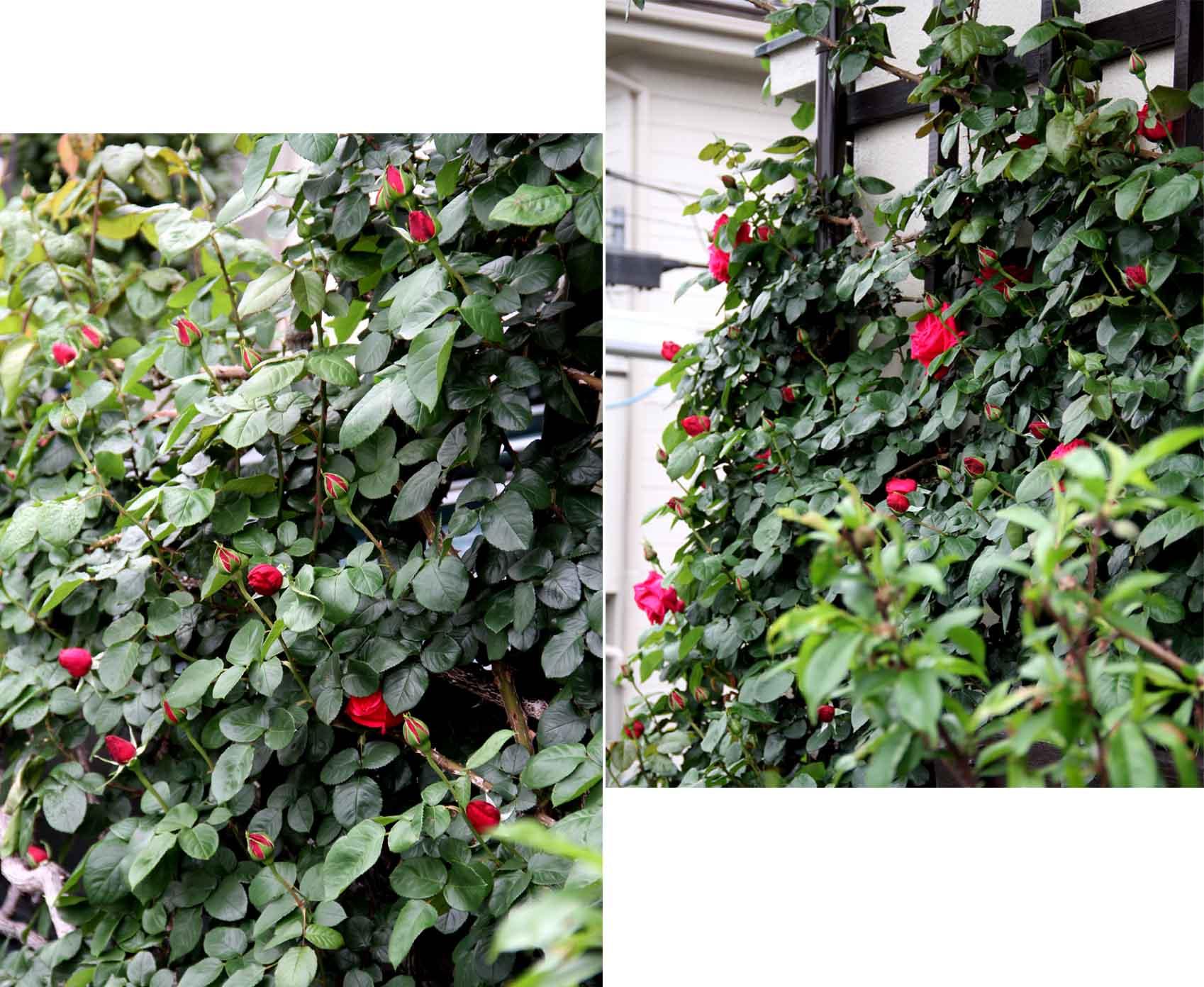 4月25日のバラ模様(4)