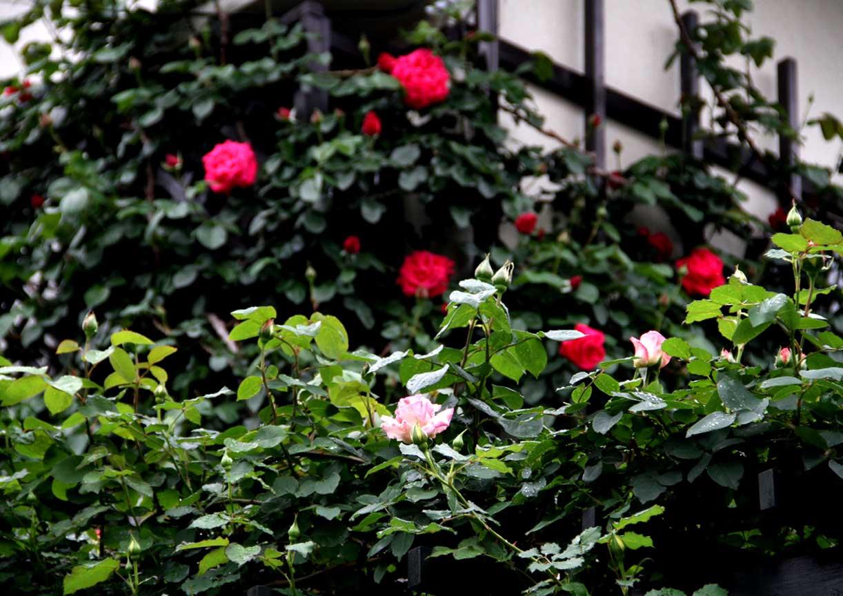 4月25日のバラ模様(6)