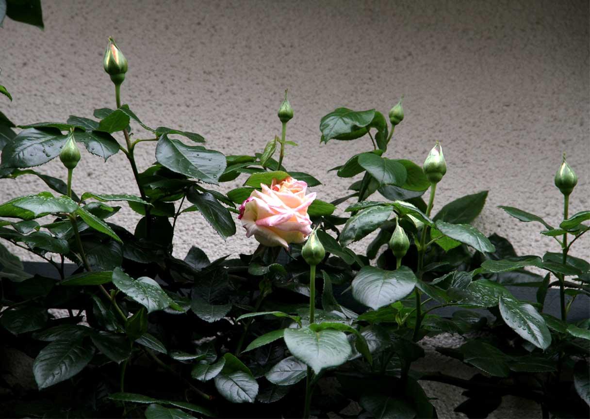 4月25日のバラ模様(10)