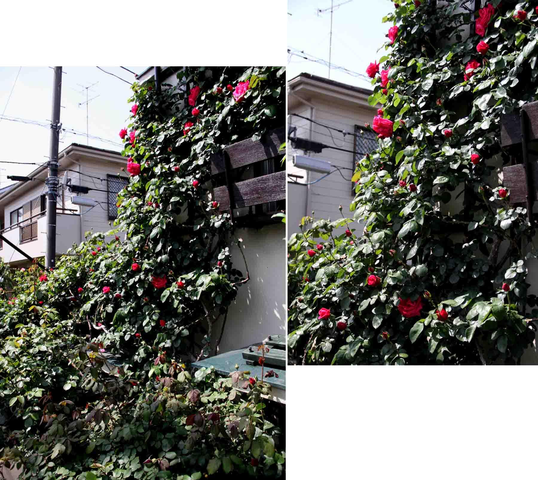 4月26日のバラ模様(2)