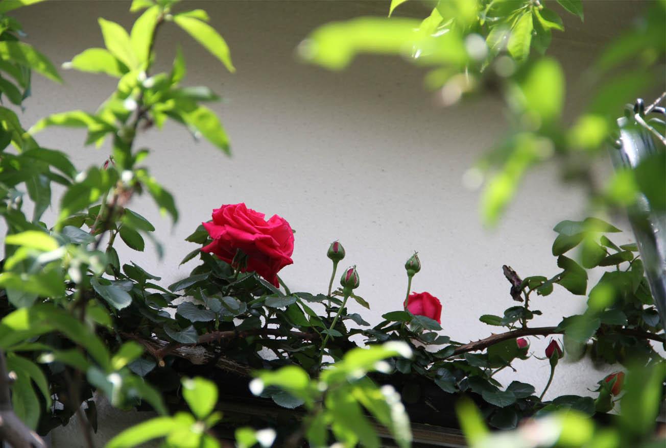 4月26日のバラ模様(3)