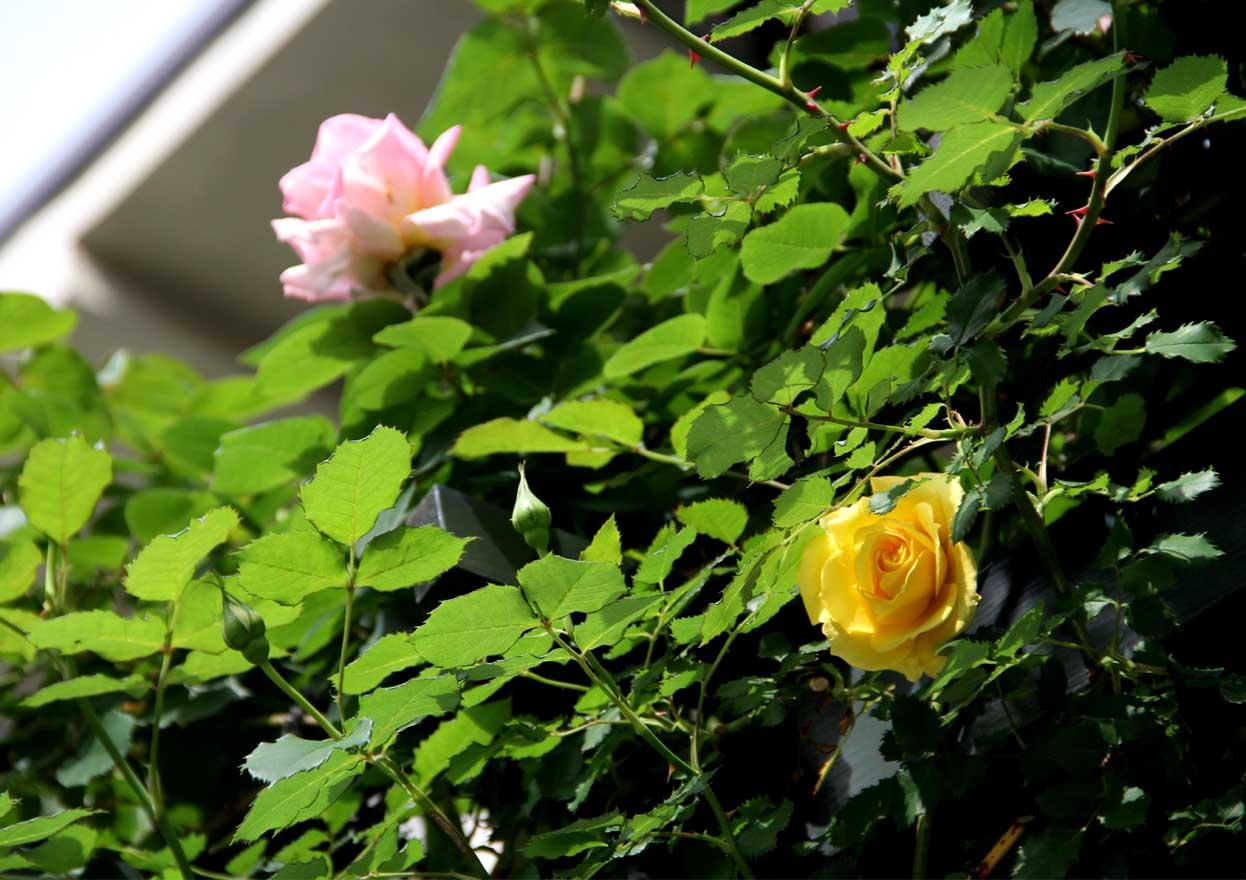 4月26日のバラ模様(5)