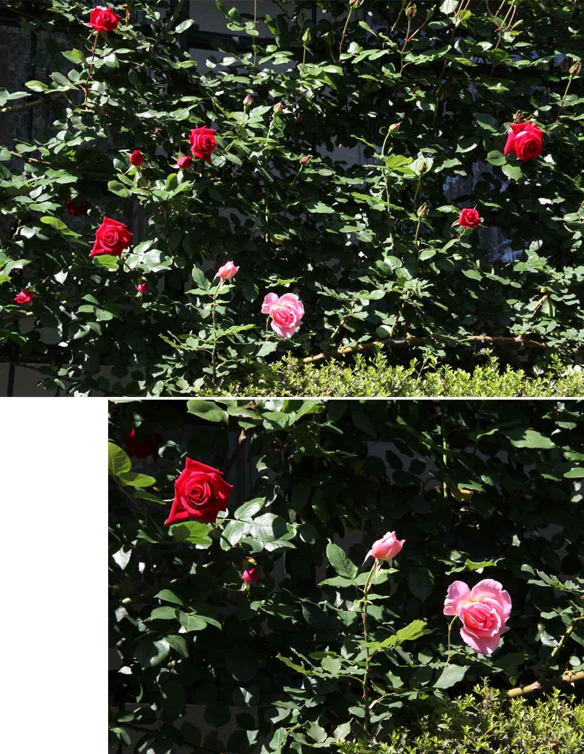 4月29日のバラ(2)