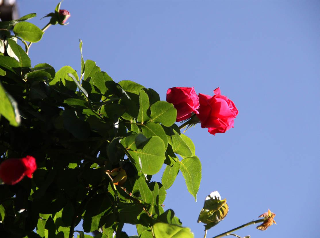 4月29日のバラ(4)