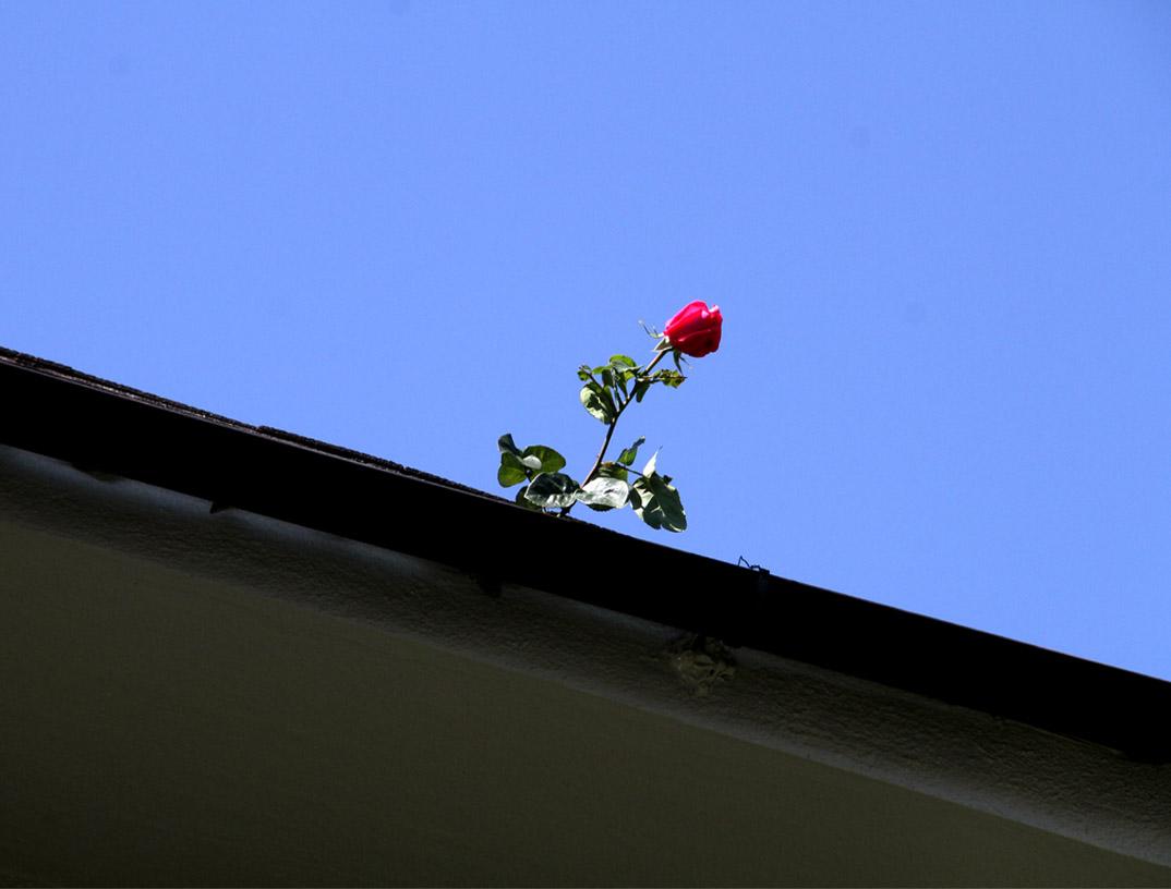 4月29日のバラ(9)