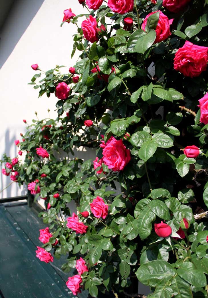 4月30日のバラ(3)