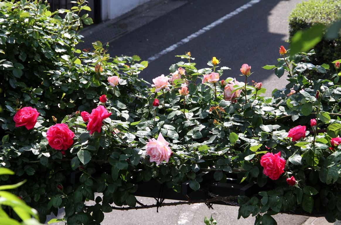 4月30日のバラ(8)