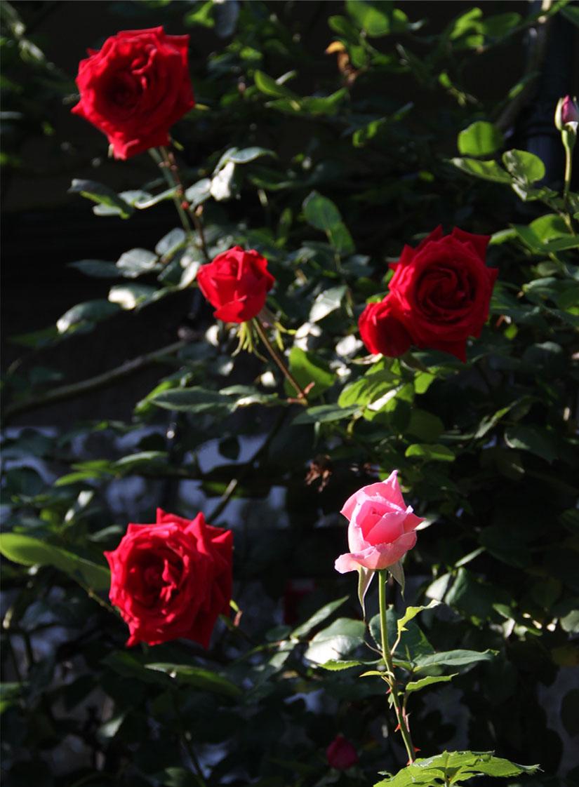 4月29~30日のバラ(1)