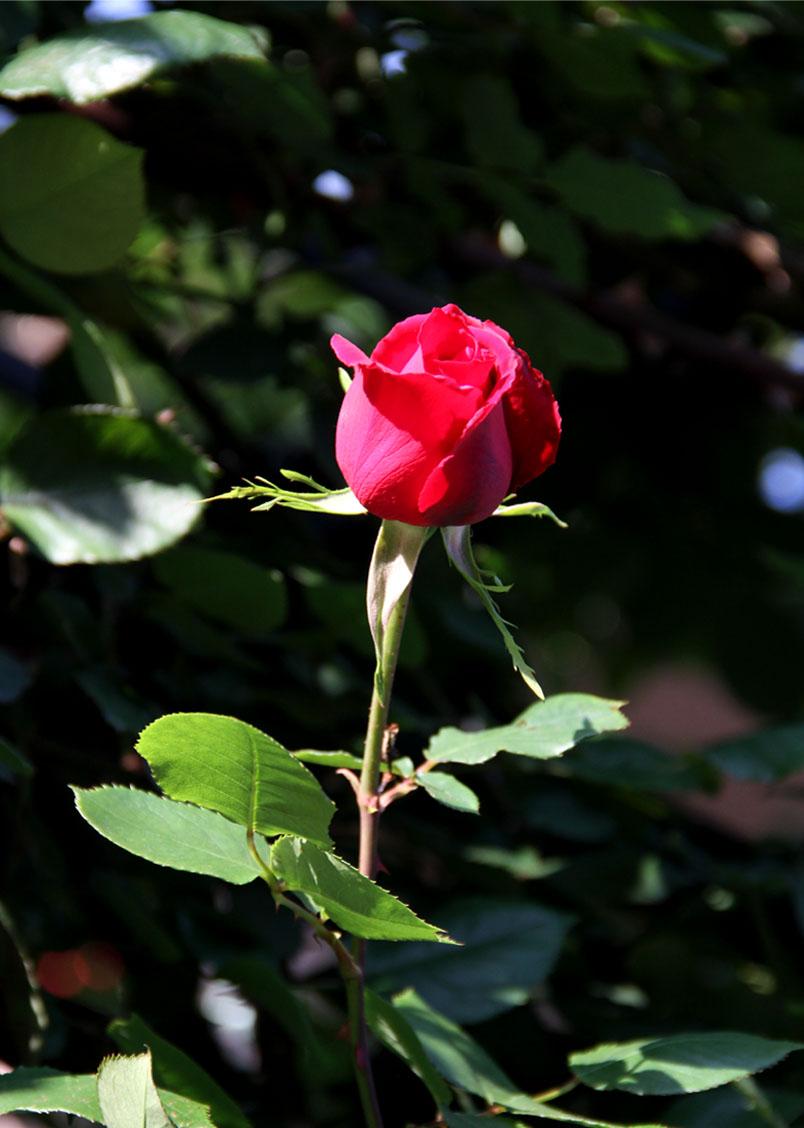 4月29~30日のバラ(4)