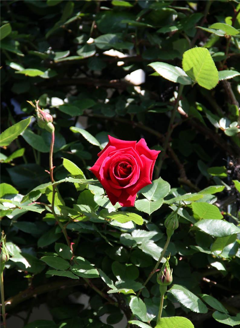 4月29~30日のバラ(5)