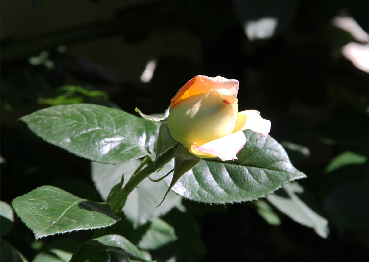 4月29~30日のバラ(8)