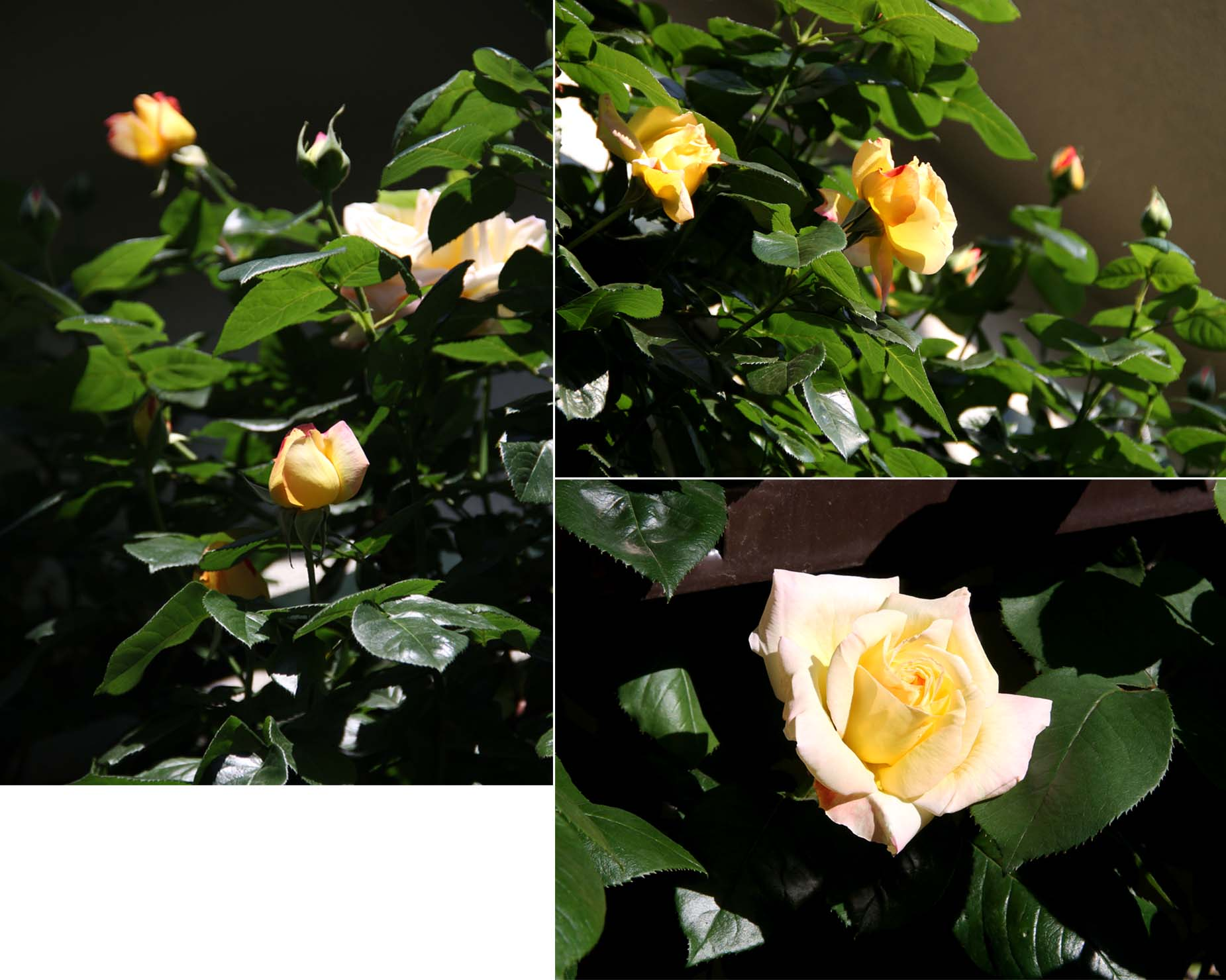 4月29~30日のバラ(9)