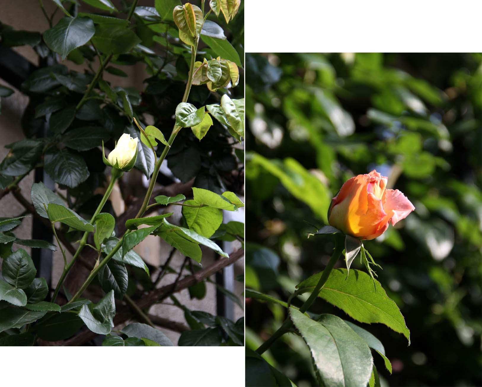 4月29~30日のバラ(10)