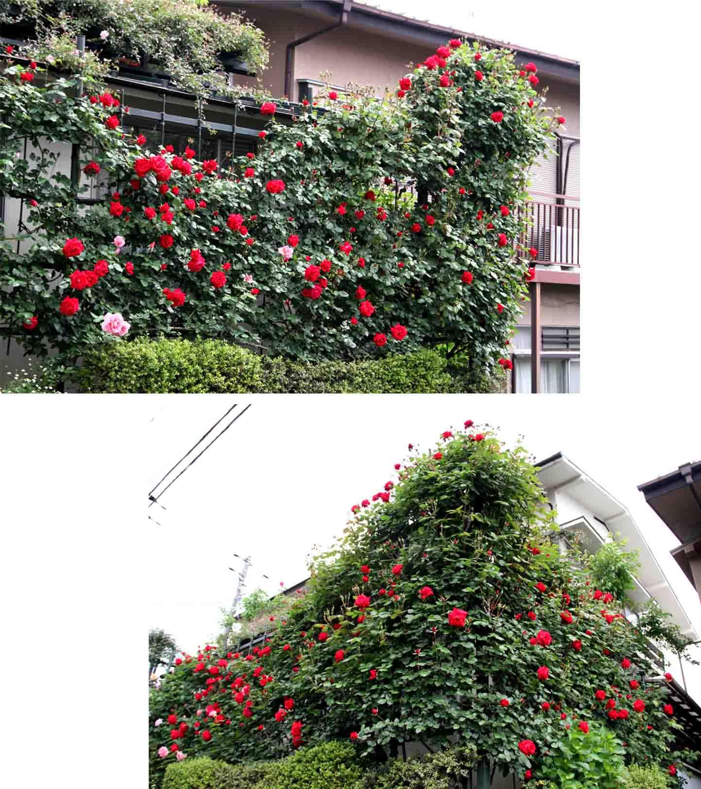 5月3日のバラ模様(1)