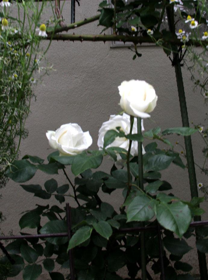 5月3日のバラ模様(3)