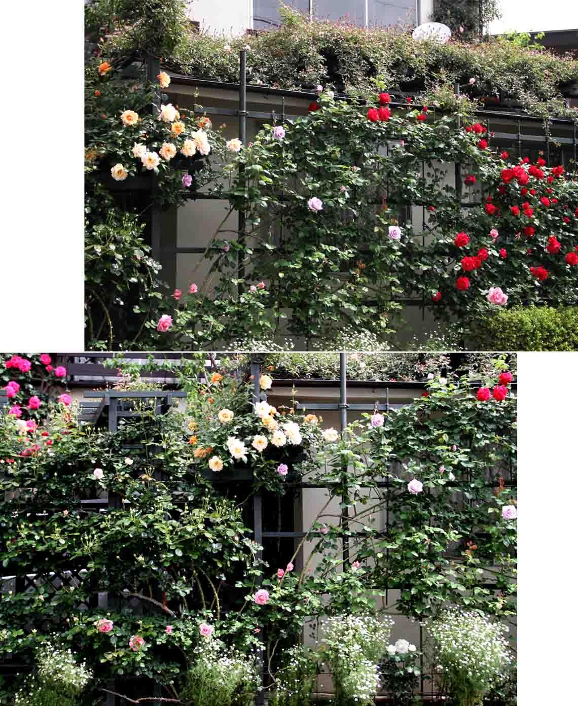 5月3日のバラ模様(2)