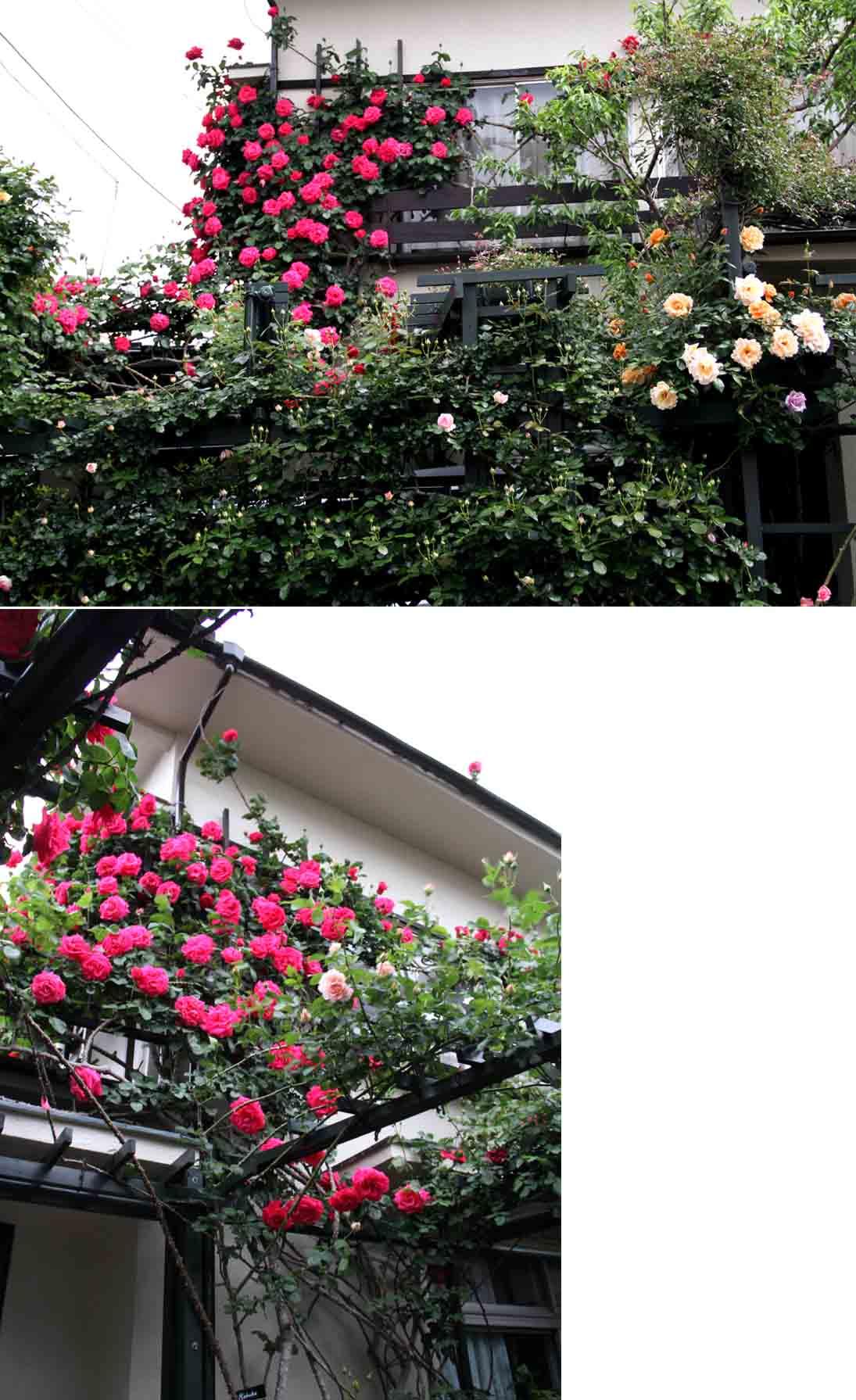 5月3日のバラ模様(4)