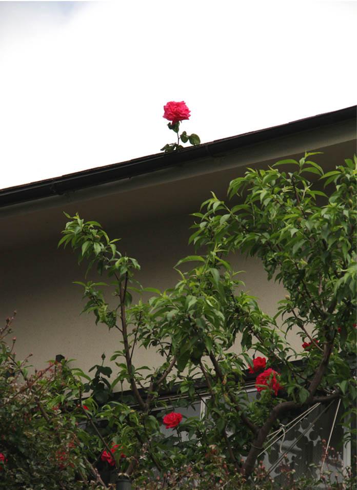 5月3日のバラ模様(5)