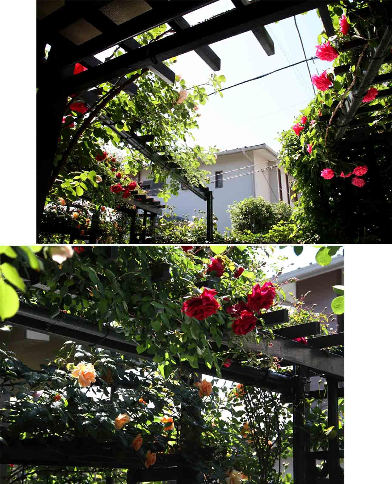 5月4日のバラ模様(1)