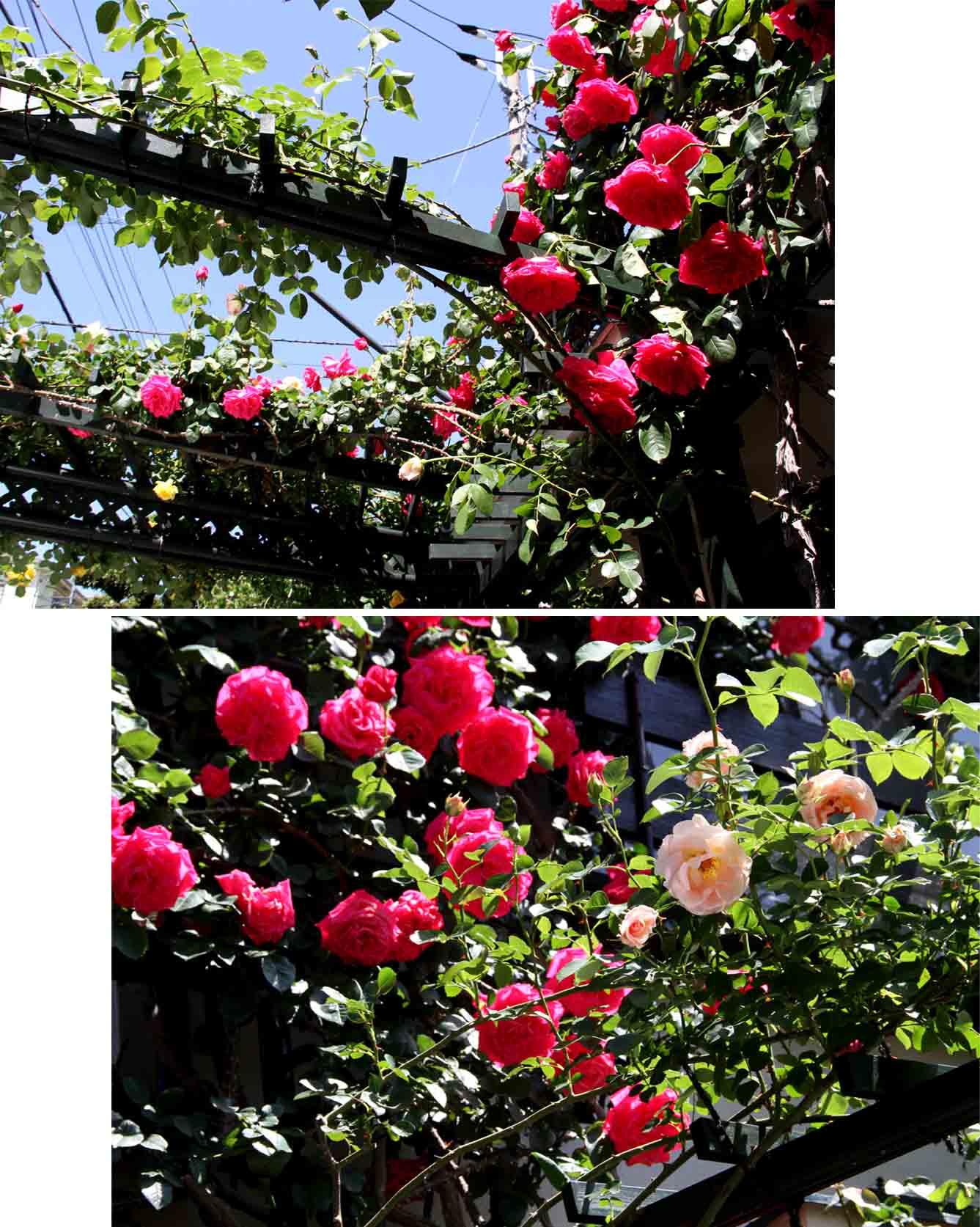5月4日のバラ模様(3)