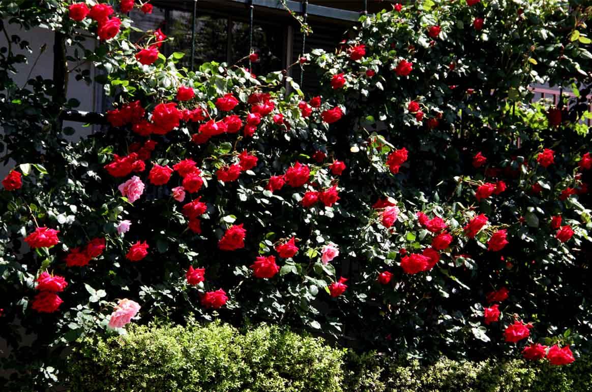 5月4日のバラ模様(5)