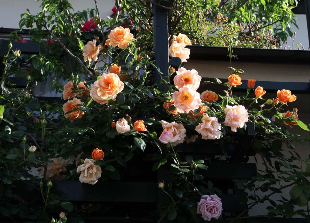 5月5日のバラ(3)