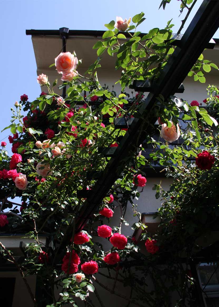 5月5日のバラ(2)